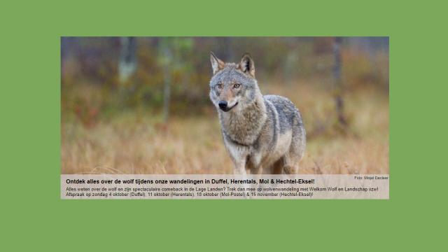 infowandelingen over wolven in de Antwerpse Kempen